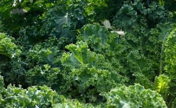 Jual sayur kale organik